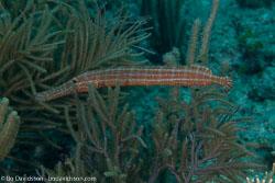 BD-101213-Playa-del-Carmen-3151-Aulostomus-maculatus.-Valenciennes.-1841-[Trumpetfish].jpg